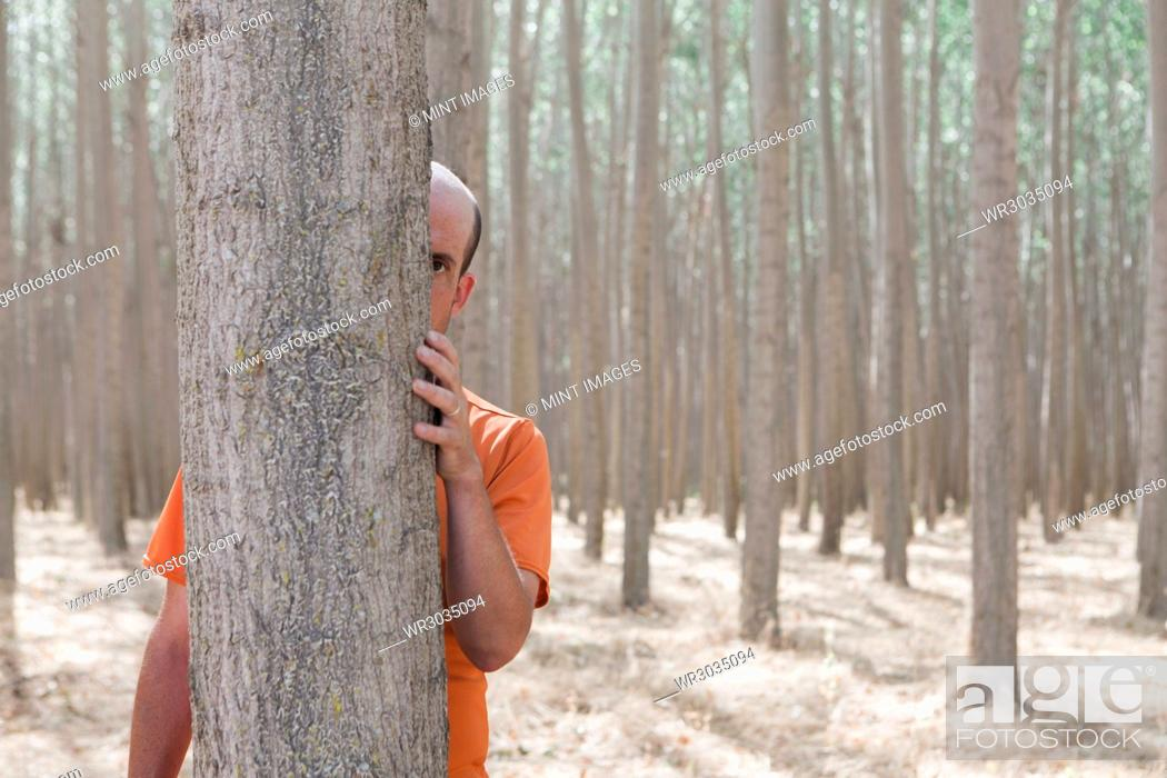 Stock Photo: Man peering from behind a poplar tree trunk on a commercial tree farm.