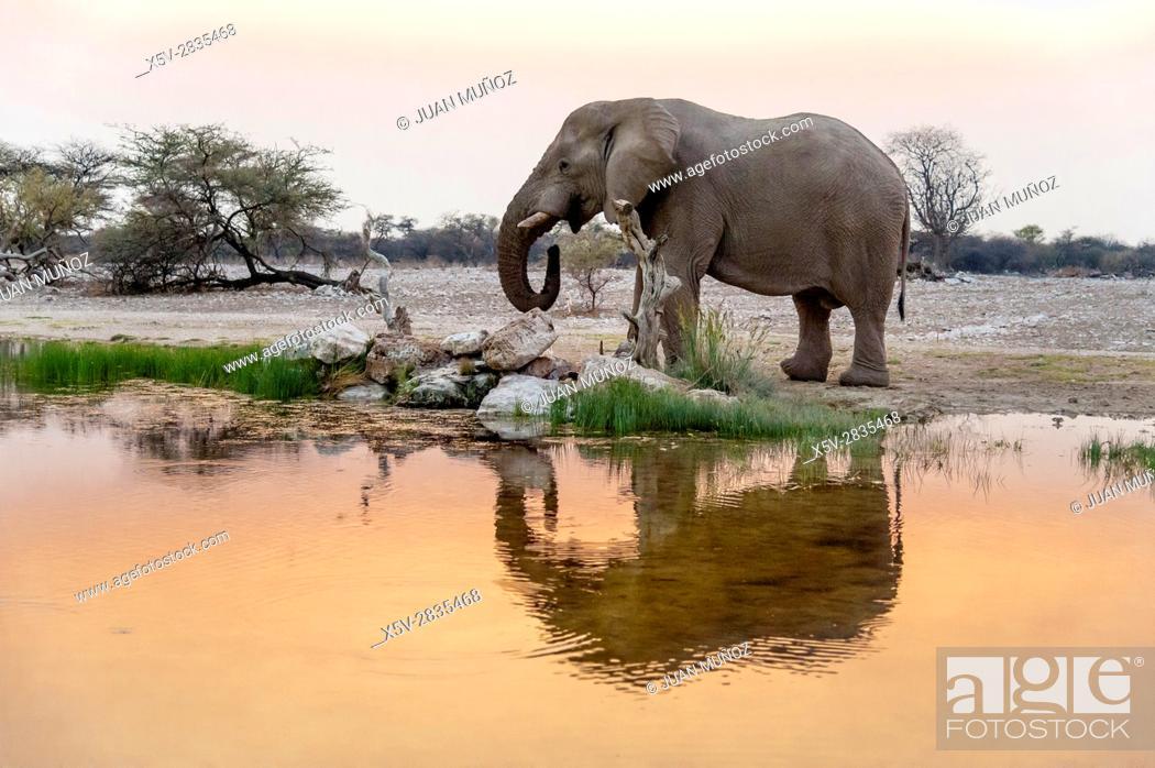 Stock Photo: Elephant drinking at sunset (Loxodonta africana). Etosha National Park. Namibia. Africa.