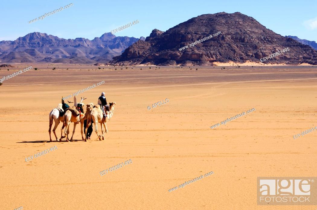 Stock Photo: A group of Mehari dromedaries of the Tuareg nomads crossing a vast plain inmidst the Acacous Mountains, Sahara desert, Libya.