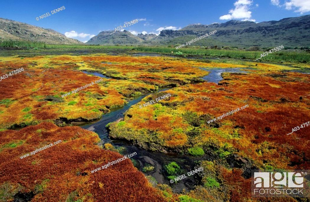 Stock Photo: Cedarberg Wilderness Area, colourful mosses growing in vlei, Northern Cape, South Africa.