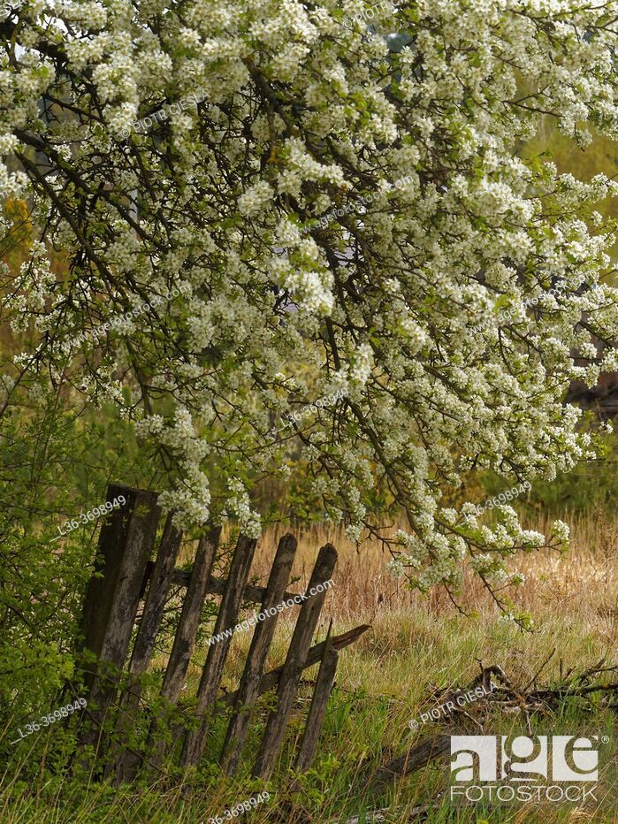 Photo de stock: Poland. Spring. Podlasie region. Blossoming tree and an old fence.