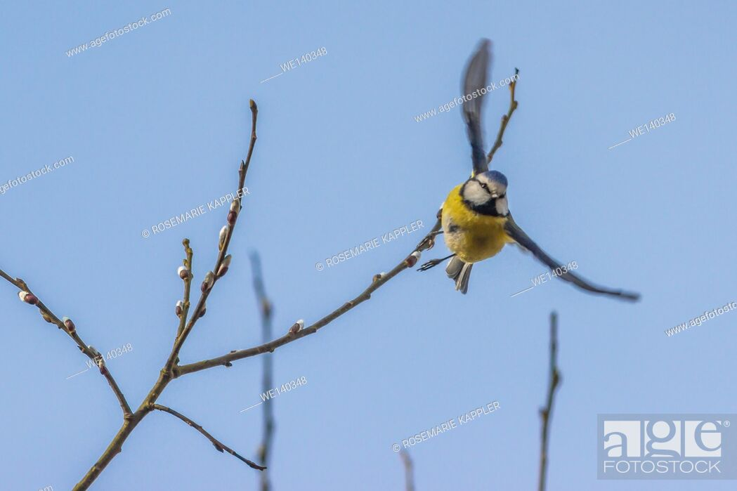 Stock Photo: Germany, Saarland, Homburg, A blue tit starts to flight.