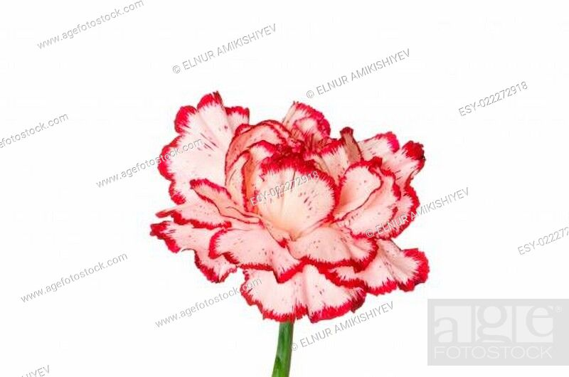 Stock Photo: Red carnation isolated on the white background.