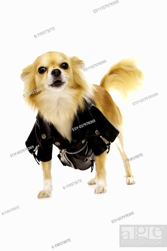 Stock Photo: Long Haired, Sand Coloured Chihuahua Wearing a Black Leather Jacket Isolated on a White Background.