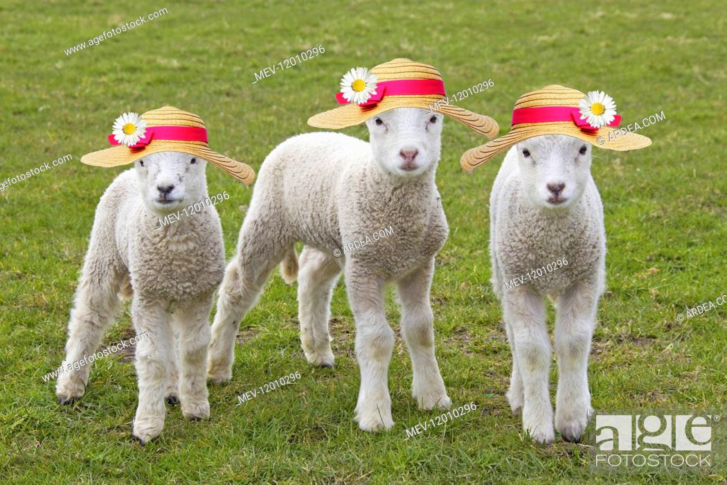Stock Photo: Domestic Sheep, lambs wearing Easter Bonnets / straw hats.