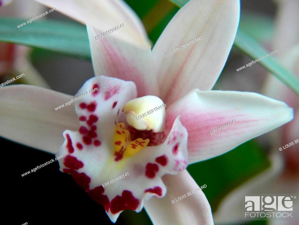 Stock Photo: phalaenopsis.