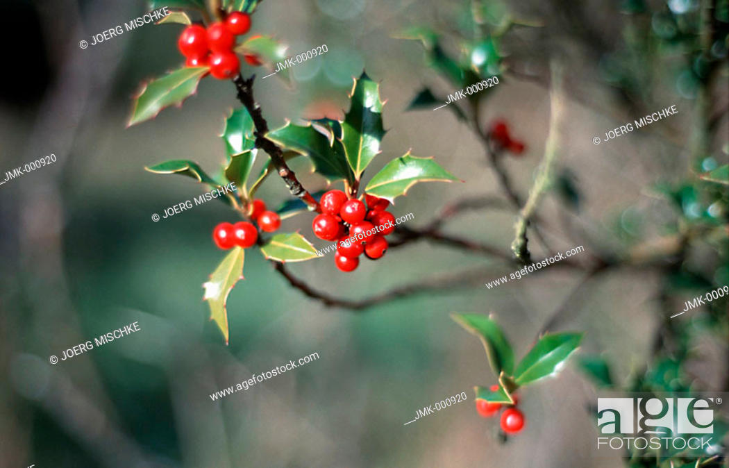 Stock Photo: Branches with red berries and green leaves.