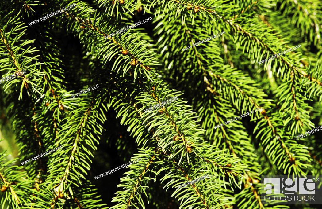 Photo de stock: Evergreen texture.