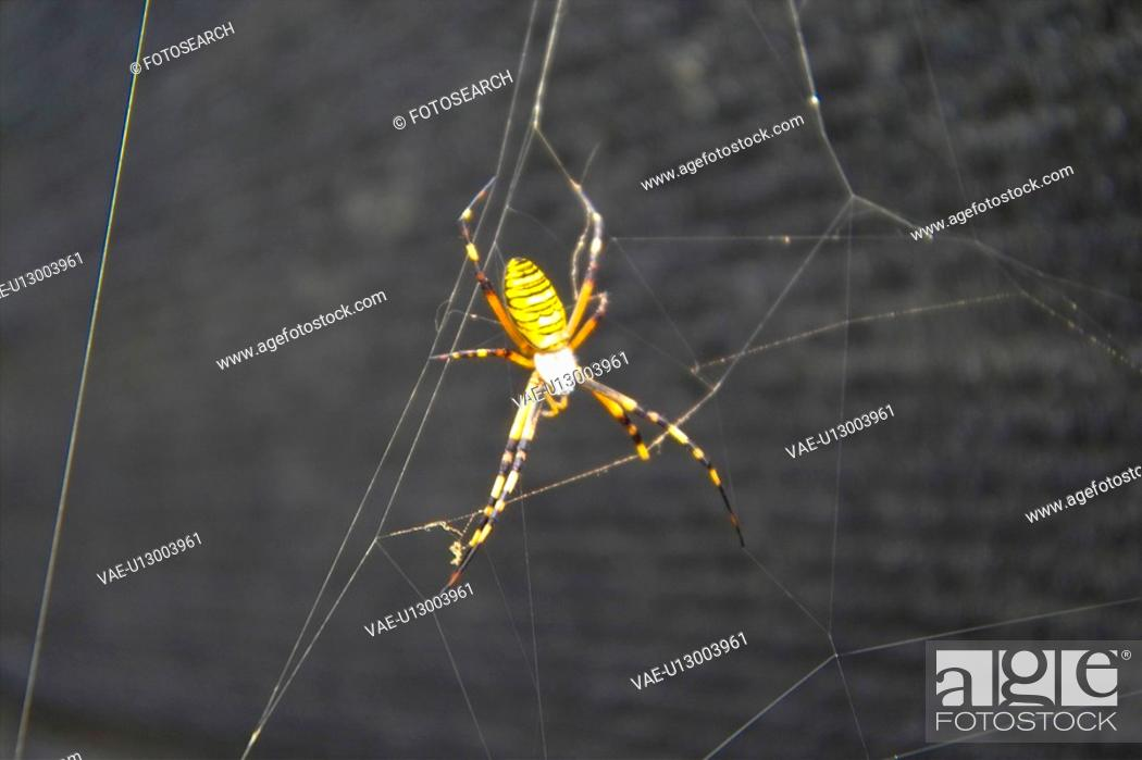 Stock Photo: anthropoda, insect, anthropods, arthropod, animal, spiders, spider.