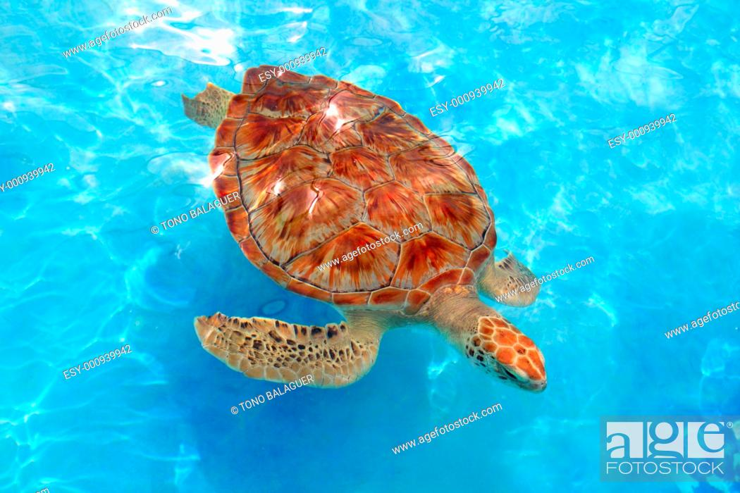 Stock Photo: Green sea Turtle Chelonia mydas Caribbean sea Cheloniidae water surface.