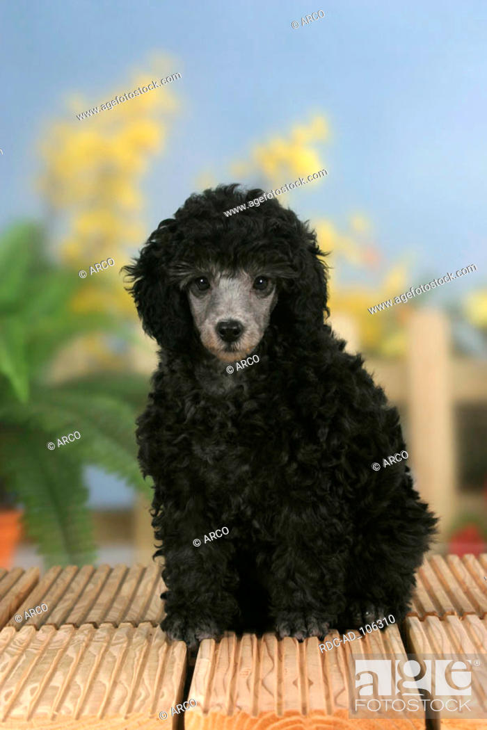 Miniature Poodle Puppy 9 Weeks Silver Stock Photo Picture And Rights Managed Image Pic Rdc Ad 106310 Agefotostock