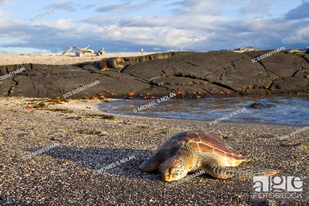 Stock Photo: Young green sea turtle Chelonia mydas agassizii hauled out on the beach in the waters surrounding the Galapagos Island Archipeligo, Ecuador Pacific Ocean.