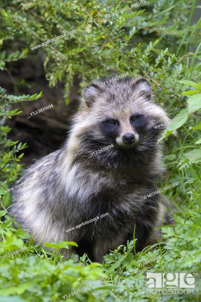 Stock Photo: Raccoon dog, Hesse, Germany, Europe.