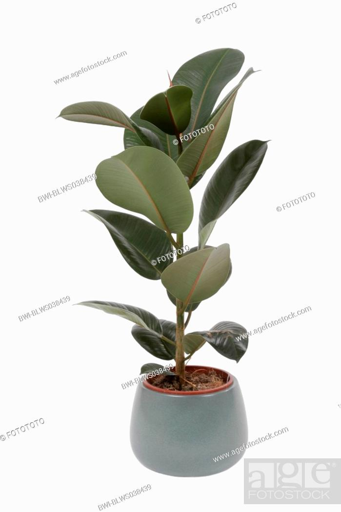 Stock Photo Indian Rubber Tree Plant Ficus Elastica Potted