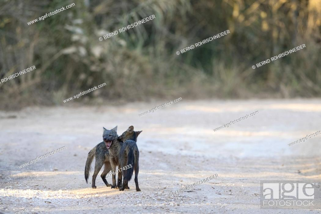 Stock Photo: Crab-eating fox (Cerdocyon thous), two adults, mutual grooming, Pantanal, Mato Grosso, Brazil.