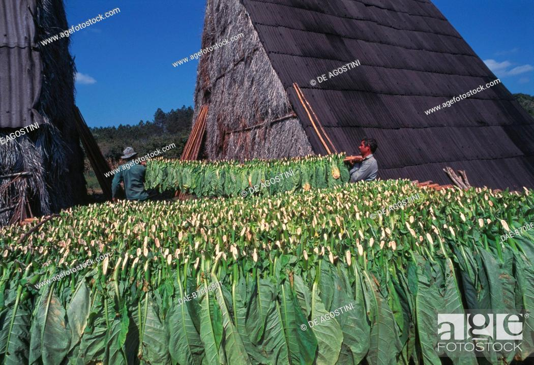 Imagen: Tobacco leaves ready to be transferred to the dryers, Vinales Valley, Cuba.