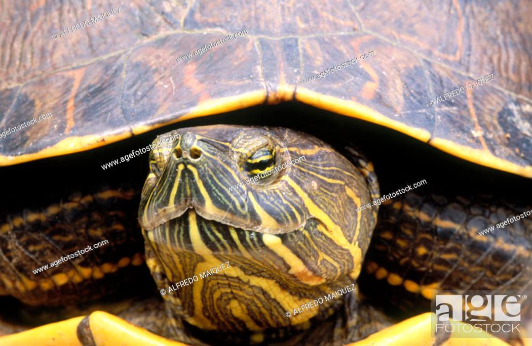 Stock Photo: Slider Turtle (Trachemys scripta). Chagres National Park, Panama.