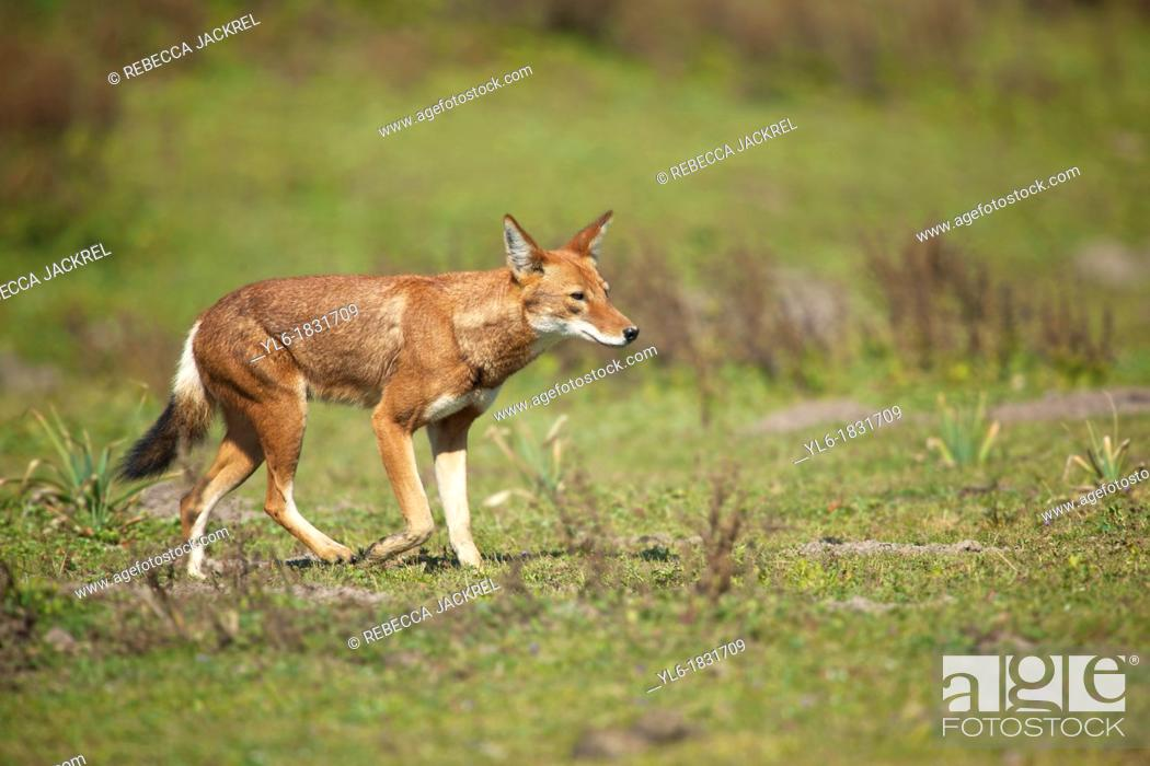 Stock Photo: A wolf trots across the valley in search of a rodent meal.
