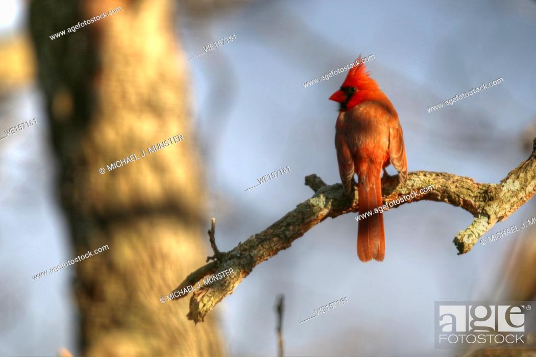Stock Photo: Northern Cardinal in backyard.