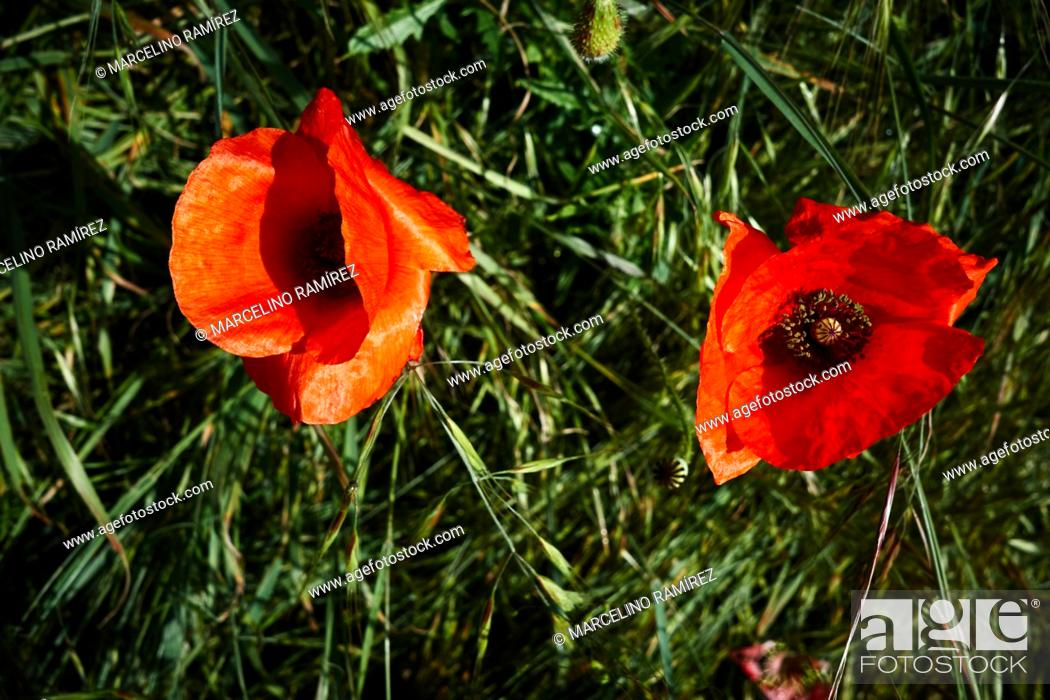 Stock Photo: Close view of red poppies in spring. French Way, Way of St. James. Near Arroyo San Bol, Burgos, Castile and Leon, Spain, Europe.