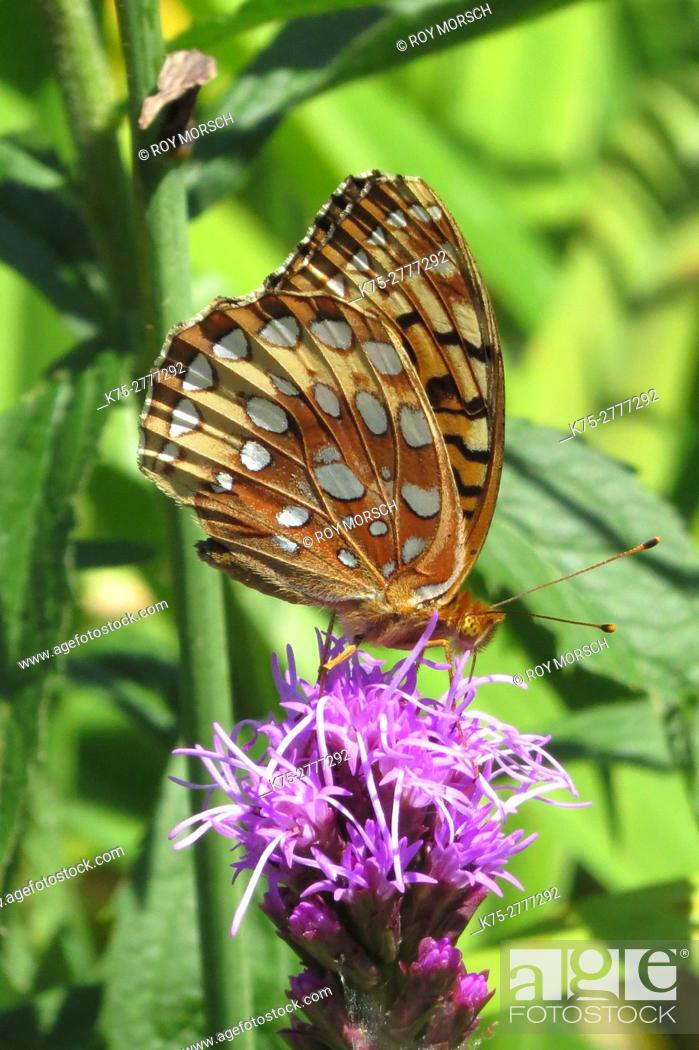Stock Photo: Great Spangled fritillary butterfly.