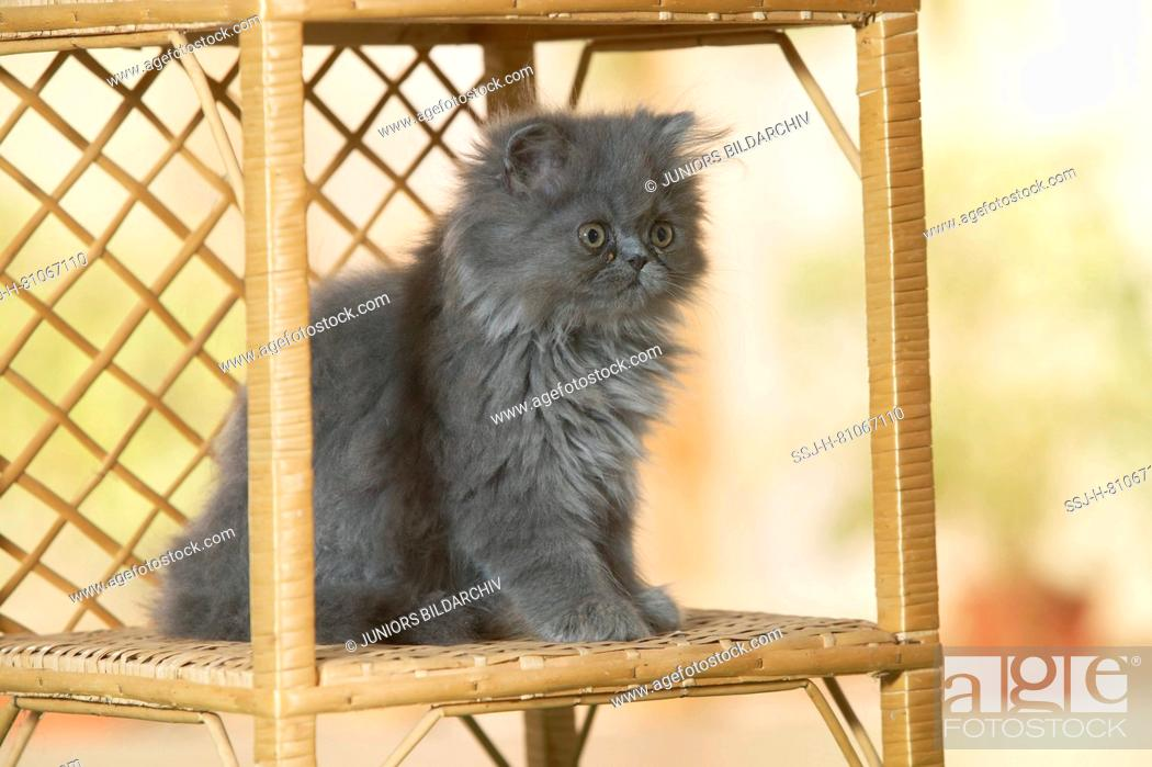 Stock Photo: Persian Cat. Kitten sitting in a book-rack. Germany.