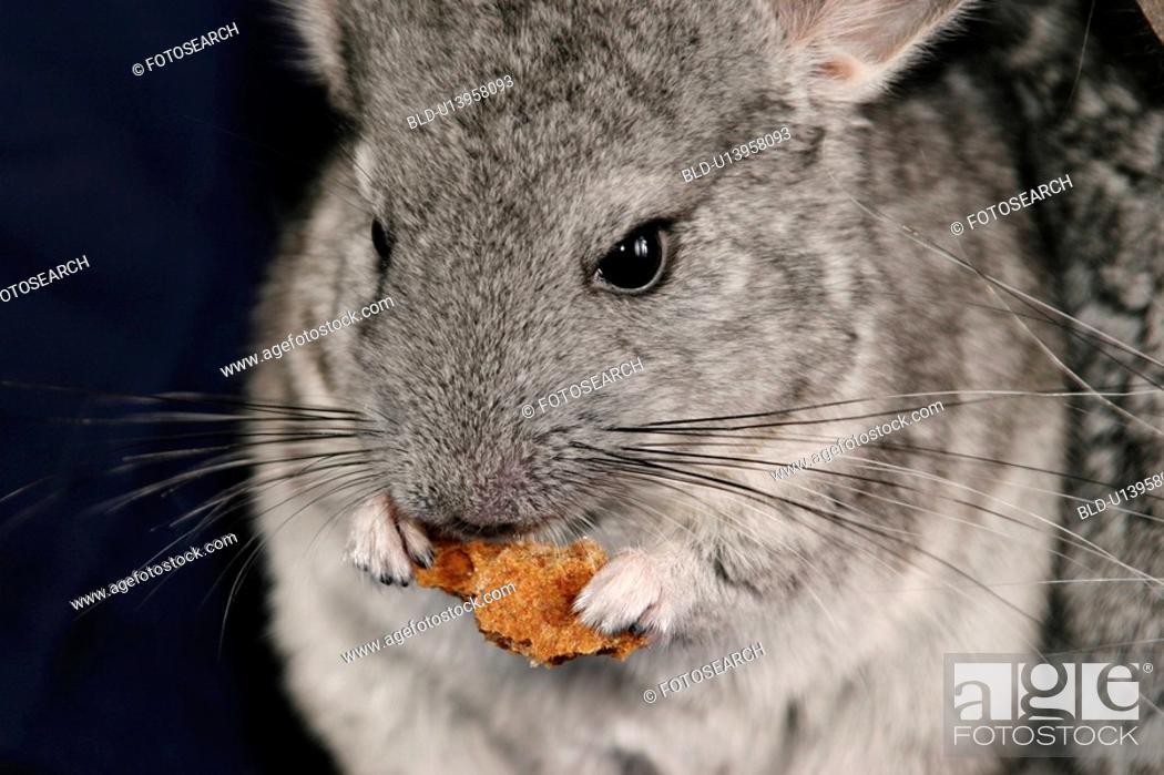 Stock Photo: pet, alfred, animals, chinchilla, chinchillidae.