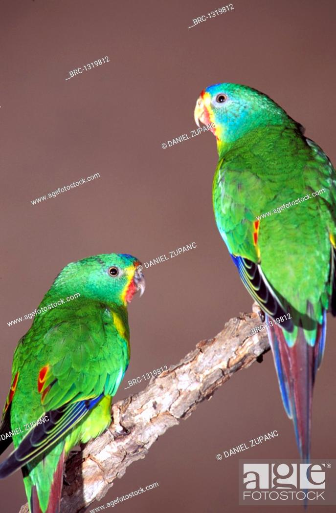 Bird, Parrot, Swift, pair, Lathamus discolor, Stock Photo