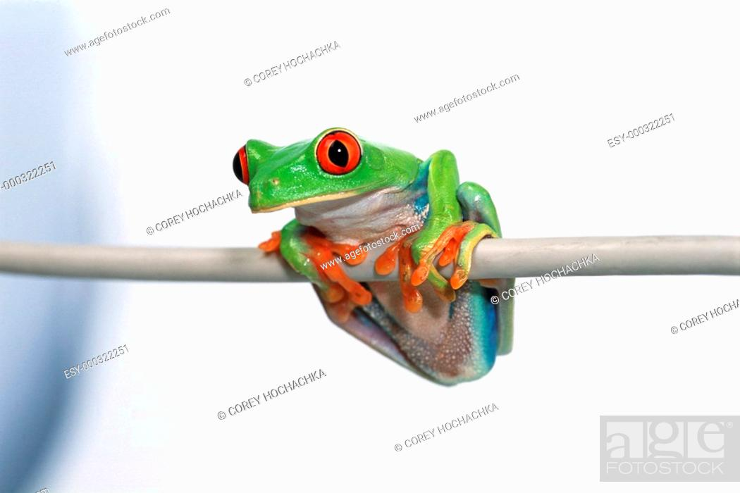 Stock Photo: Red eyed tree frog.
