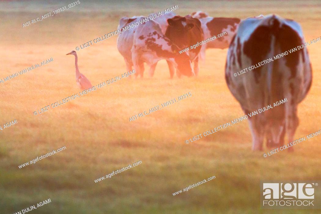 Stock Photo: Grey Heron, Ardea cinerea in the morning light, Ardea cinerea.