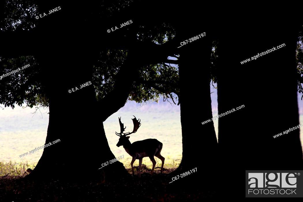 Stock Photo: Fallow Deer Cervus buck under holm oak tree.
