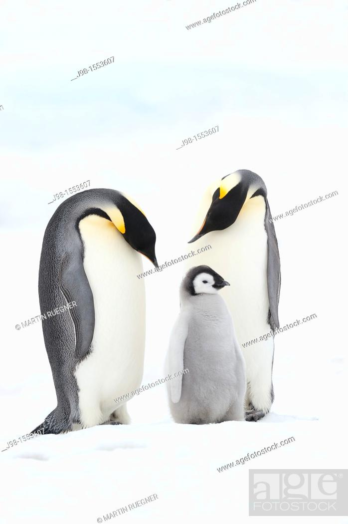 Imagen: Emperor Penguin Aptenodytes forsteri, chick and adults  Snow Hill Island, Antarctic Peninsula, Antarctica.