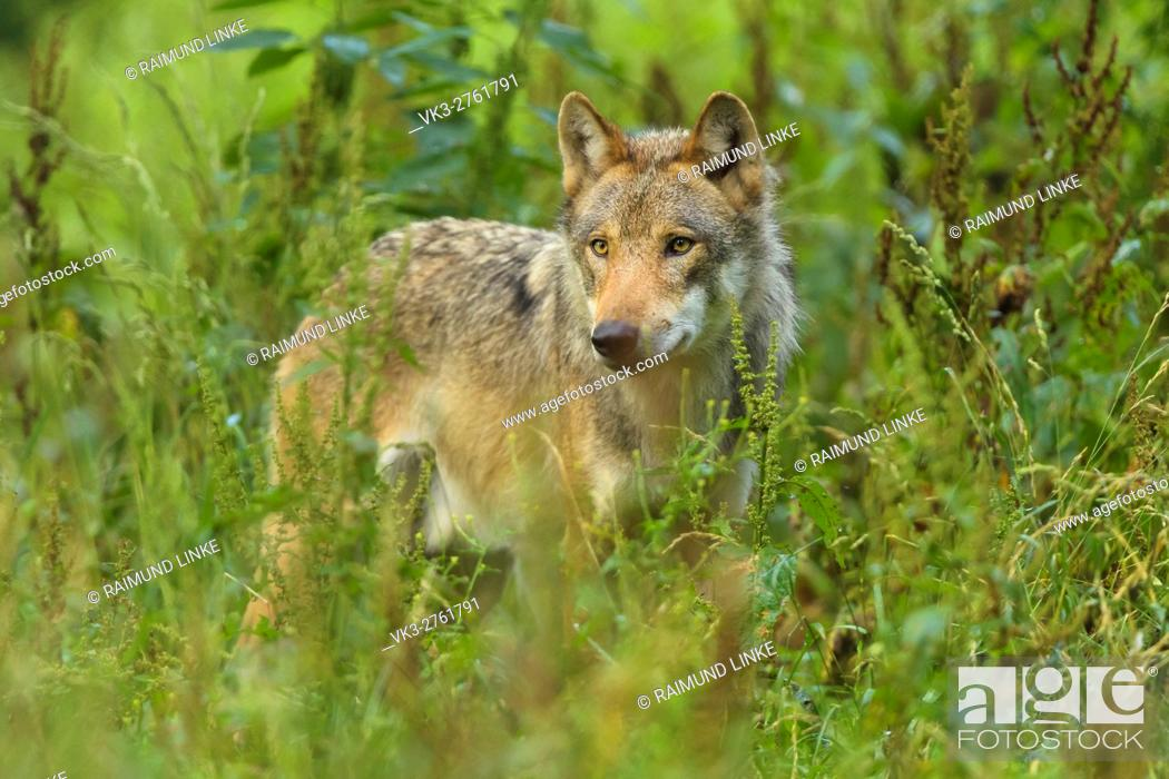 Photo de stock: European Gray Wolf, Canis lupus lupus, Germany.