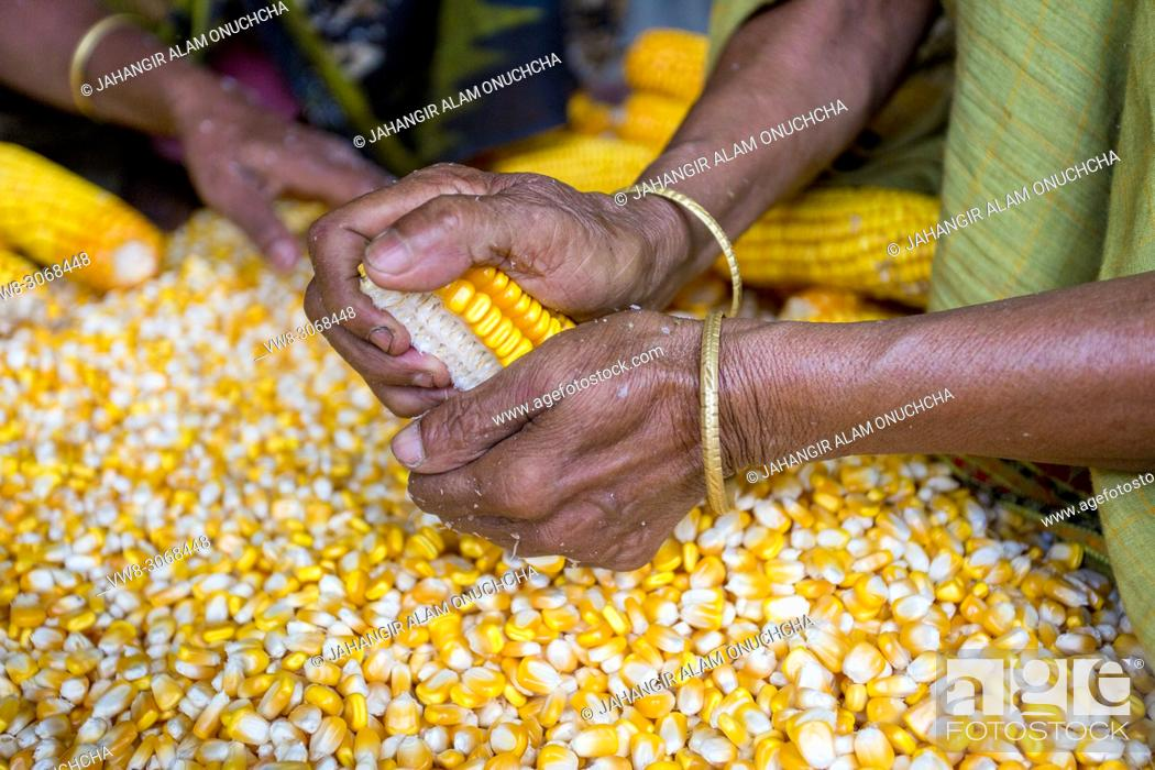 Stock Photo: Maize in Bangladesh at most Third important cereal after rice and wheat. New crop: 3100 ha in 1900, 10000 ha in 1995, 202000 ha in 2009-2010.