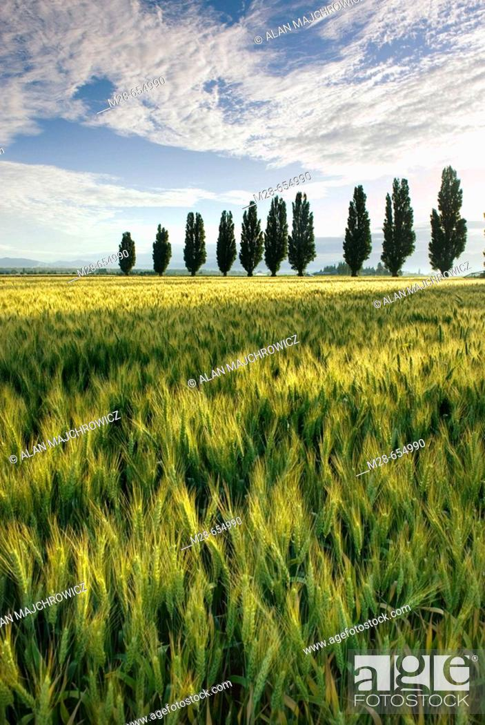 Stock Photo: Fields of wheat with poplar trees, Skagit Valley Washington USA.