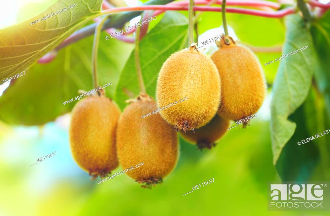 Stock Photo: Kiwi fruits on the tree.