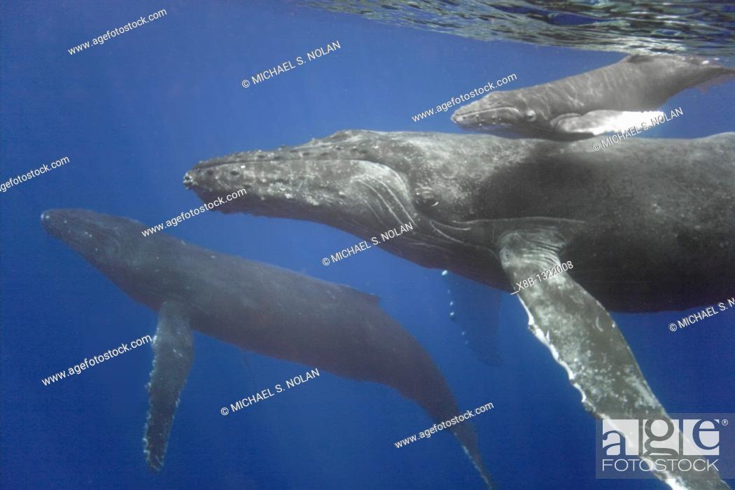 Stock Photo: Mother, calf, and escort humpback whale Megaptera novaeangliae approaching the boat underwater in the AuAu Channel separating Maui from Lanai.