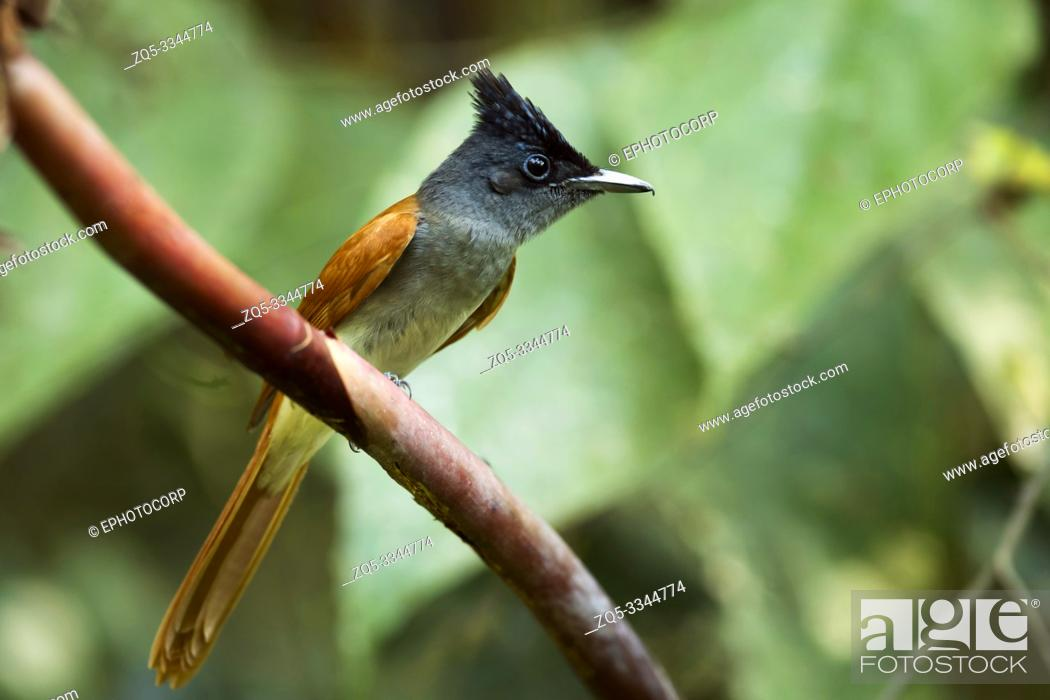 Imagen: Indian paradise flycatcher, female, Terpsiphone paradisi, Western Ghats, India.