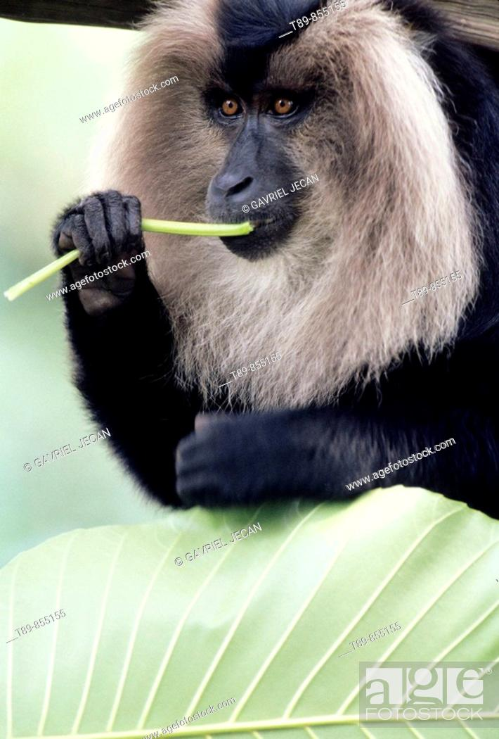 Stock Photo: Lion Tailed Macaque  Macaca silenus.
