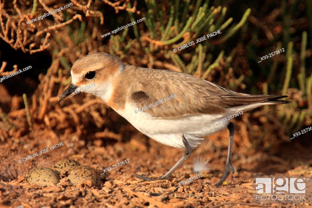 Imagen: Kentish plover (Charadrius alexandrinus). S'Albufera de Mallorca, Mallorca, Balearic Islands, Spain.