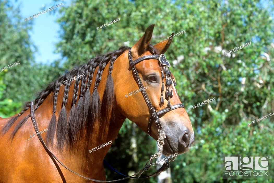 Stock Photo: Welsh Cob - portrait.