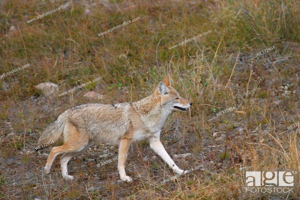 Stock Photo: Coyote (Canis latrans), Rocky mountains, Canada.
