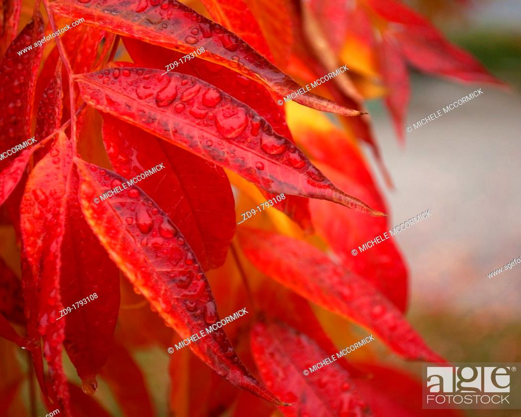 Stock Photo: Waterdrops on the red leaves of a Chinese pistache tree.