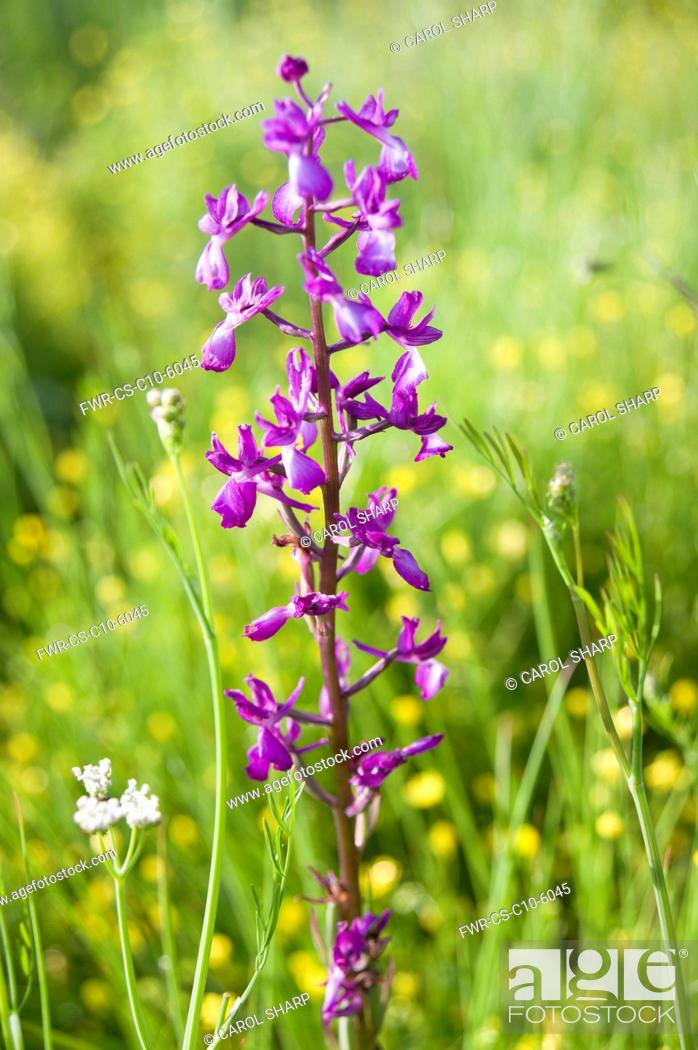 Imagen: Orchid, Loose flowered orchid, Anacamptis laxiflora, single flower in a meadow of buttercups, Halkidiki, Greece.