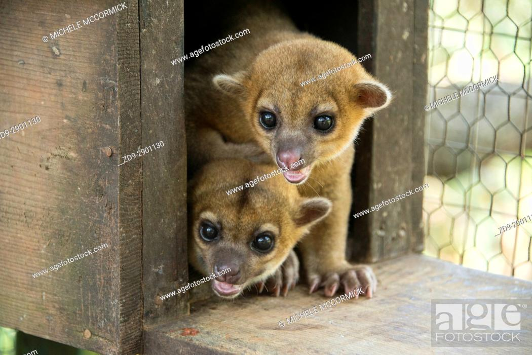 Stock Photo: Kinkajou are among the animals protected at Gumbalimba Park in Roatan.