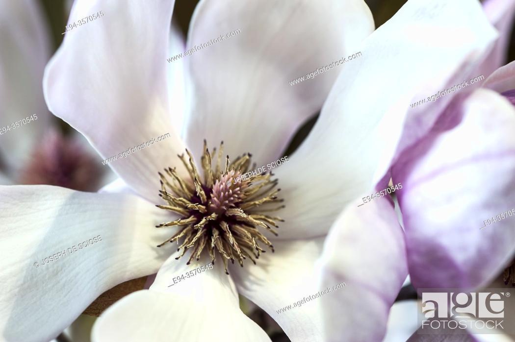 Photo de stock: Close up of magnolia flower.