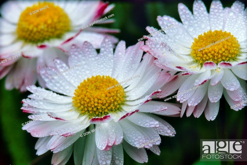 Stock Photo: Close-up of white and pink bellis with raindrops.