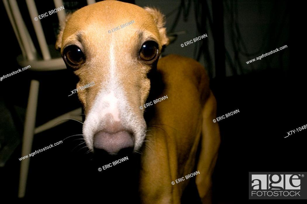 Stock Photo: An Italian Greyhound looks right at the camera.