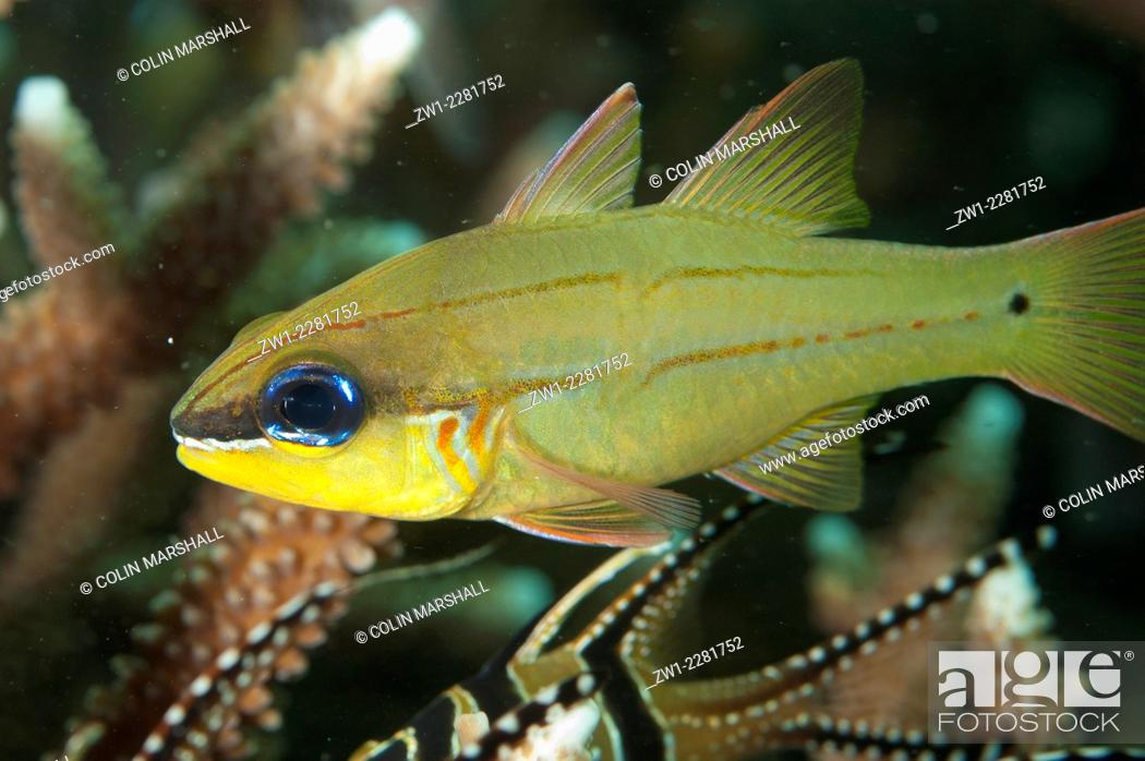 Stock Photo: Adult Spotgill Cardinalfish (Ostorhinchus chrysopomus) in coral, Lembeh Island Resort House Reef dive site, Lembeh Straits, Sulawesi, Indonesia.
