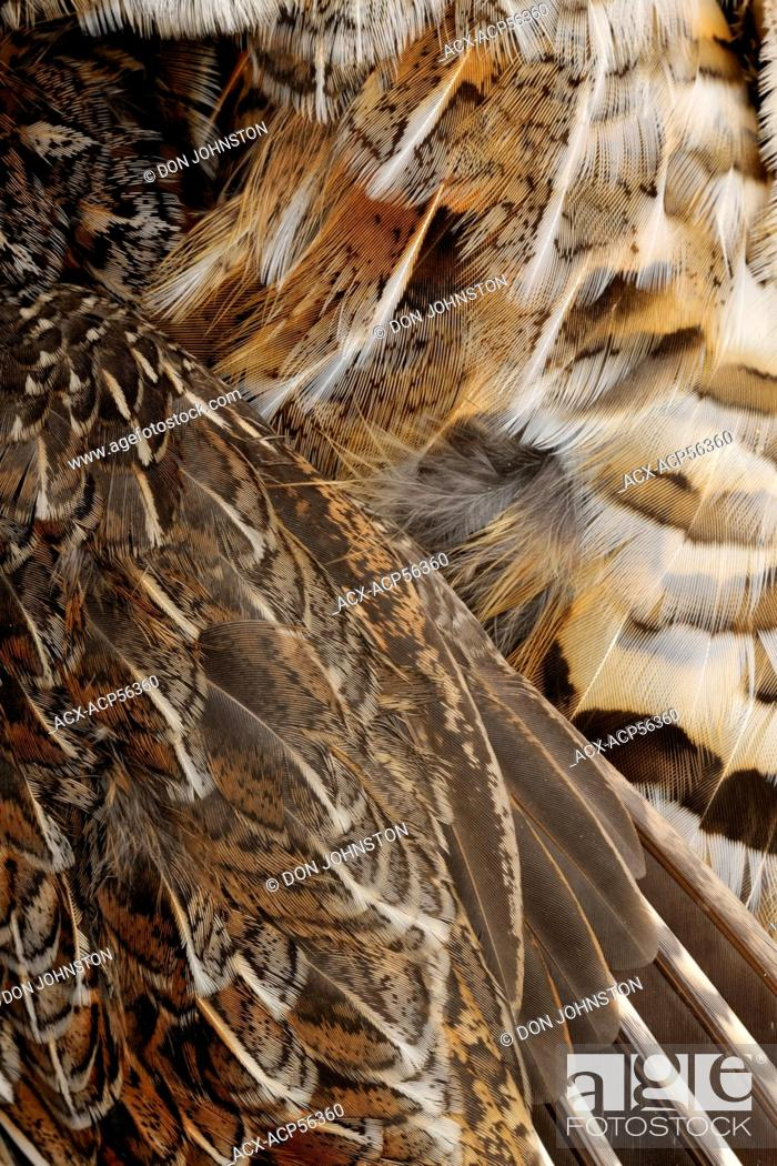 Stock Photo: Ruffed grouse Bonasa umbellus Feather detail in a dead specimen, Greater Sudbury Lively, Ontario, Canada.